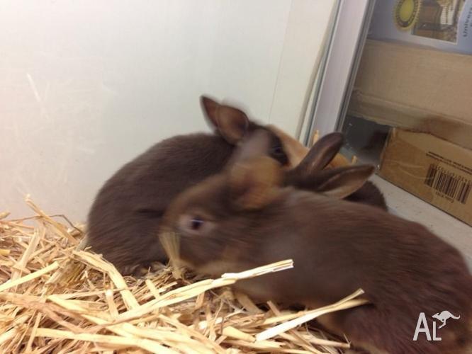 Mini Lop X Rabbits
