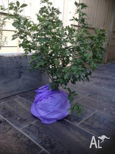 Mock Orange Plants (Medium Size) x 2