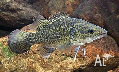 Murray Cod fingerlings for pond aquarium aquaponics or