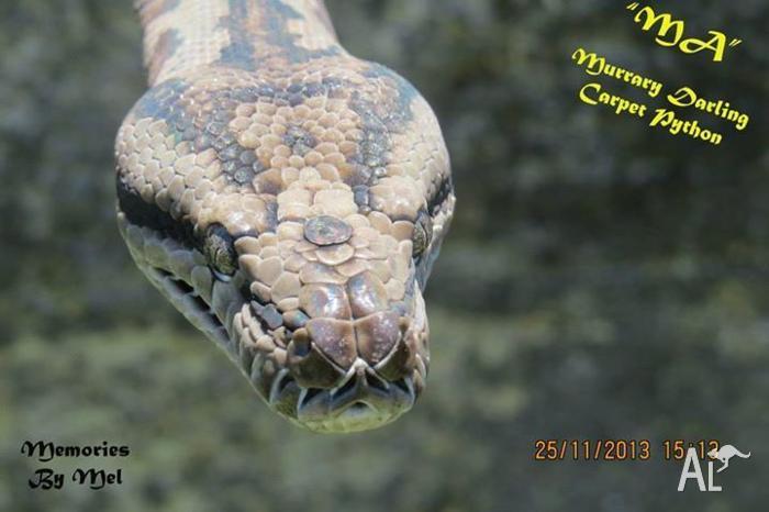 Murray Darlings Pythons Breeding Pair Mount Gambier SA