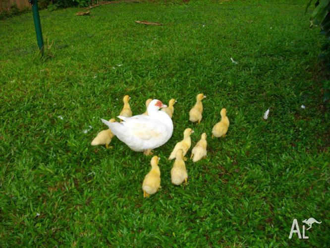 Muscovies ducklings