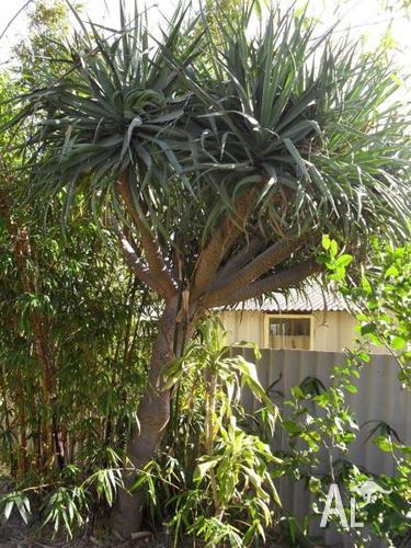 Must Go!- Mature Dragon Tree