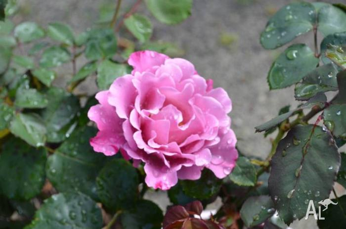 New Rose Bushes – grafted, flowering and in 200mm pots