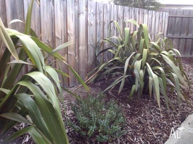 NEW ZEALAND FLAX PLANTS (2)