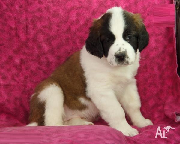Nice Saint Bernard Puppies For Sale Now for Sale in BALLARAT