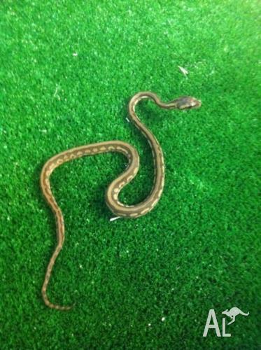 Northern X Prosopine Super Stripped Carpet Python -