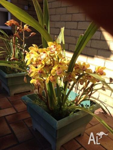 ORCHIDS FOR SALE $10ea FLOWERED AND UNFLOWERED - PRICE