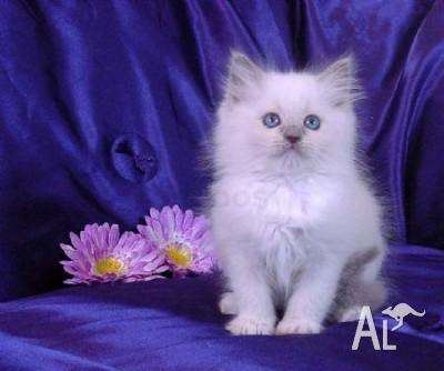 outstanding blue eyes white persian kittens ready here~ for Sale in