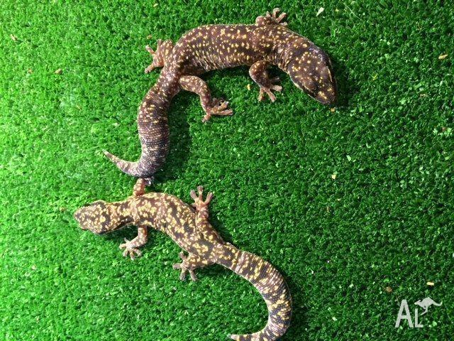 PAIR - Marble Velvet Gecko