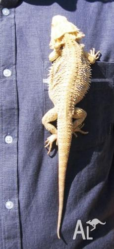 Pair of Central Bearded Dragons