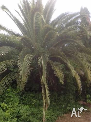 Palm Tree - Great Value for Money
