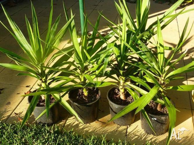 Palms, Clivias, Yuccas, Succulents, etc