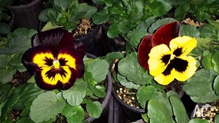 PANSY PLANTS - HUGE RANGE OF COLORS AVAILABLE NOW