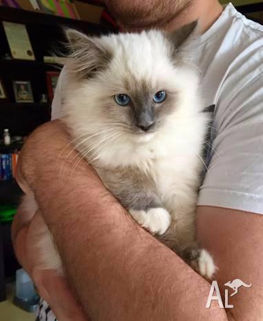 Pedigree Blue Mitted RAGDOLL Male Kitten
