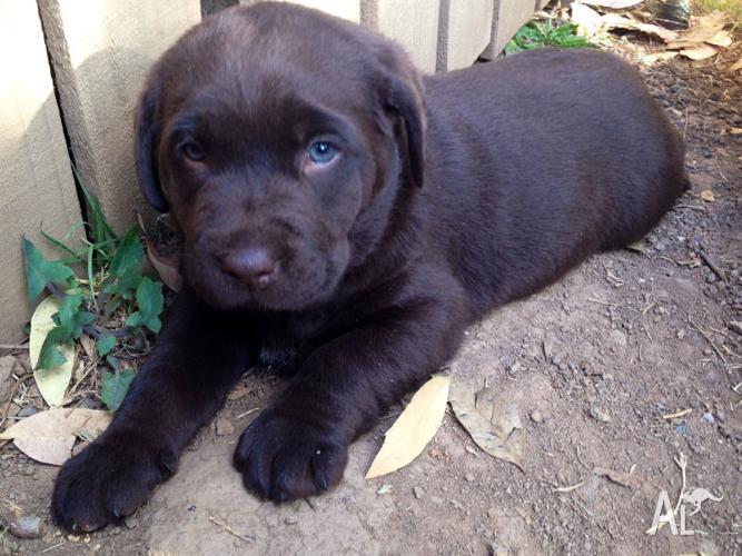 Purebred Chocolate Labrador Puppies for