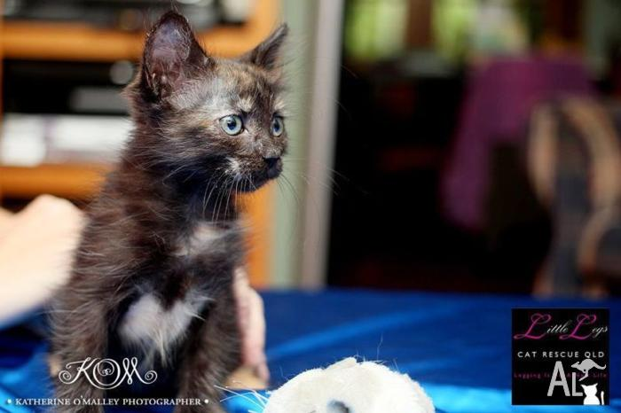 Peggy ~ Little Legs Cat Rescue Qld