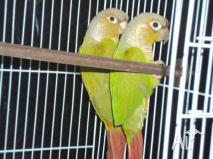 Pineapple Green Cheek Conure Breeding Pair