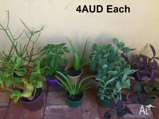 Plants 4AUD each, 3pots for 10AUD @mie