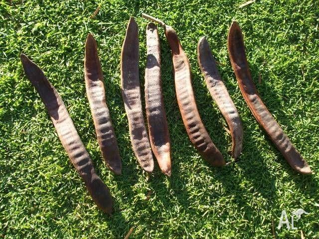 Poinciana Seed Pods