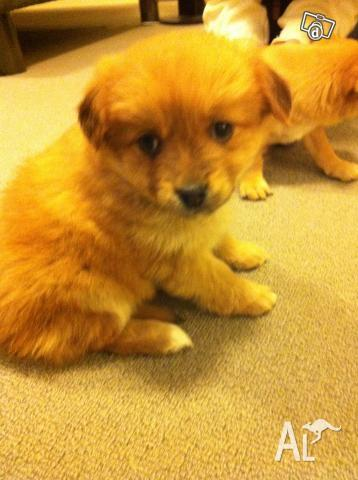 Jack Russell Terrior Puppy For Sale Adoption From Victoria Melbourne ...