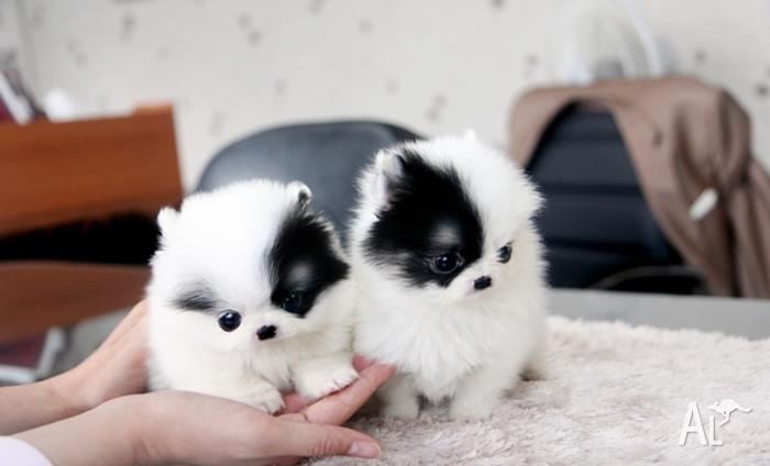 Precious Micro White Teacup Pomeranian Puppies for Sale in ...