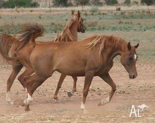 pure Arabian mare price reduced