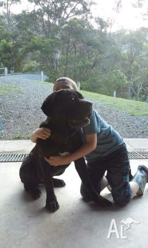 Pure Bred black Neo Mastiff Pup $500