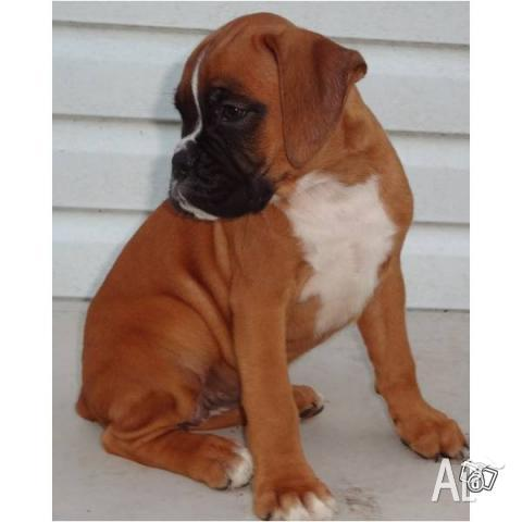 Pure bred Boxer puppies for Sale in SYDNEY, New South Wales