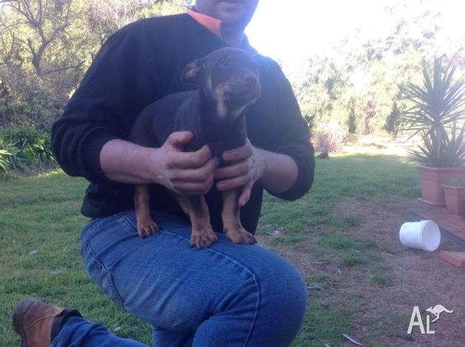 Pure bred kelpie puppies