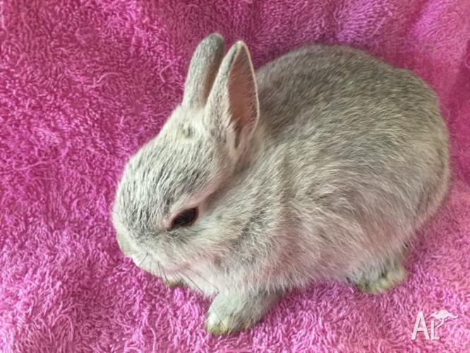 Pure Bred Netherland female Dwarf rabbit!! With