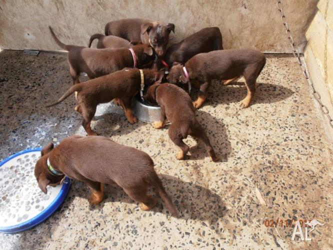 kelpie for sale in Victoria Classifieds & Buy and Sell in
