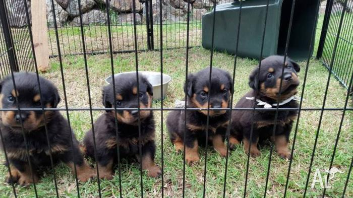 PURE BRED ROTTWEILERS- Strong working GERMAN/HUNGARIAN