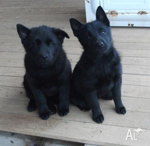 Pure Bred Schipperke Puppies For Sale In Buckland Park South