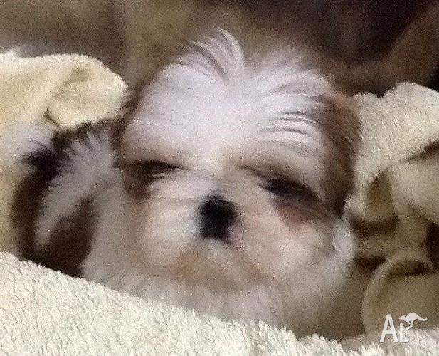 Pure Bred Shih Tzu Puppy Female For Sale In Scarborough Western