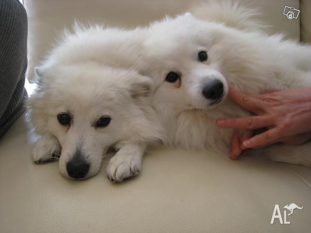 Japanese Spitz Dog For Sale Australia