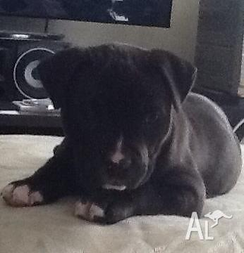 Purebred Amstaff puppies for Sale in PARALOWIE, South