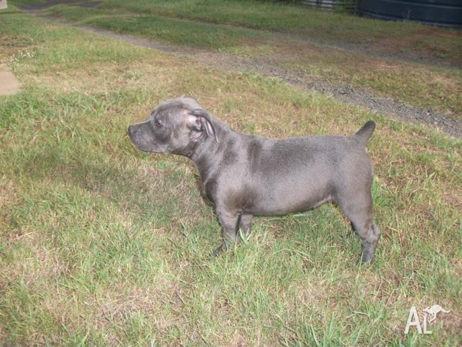 Blue Staffy For Sale : Purebred blue english staffy pup female for sale in babyl creek