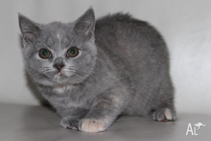 Purebred British Shorthair Kitten