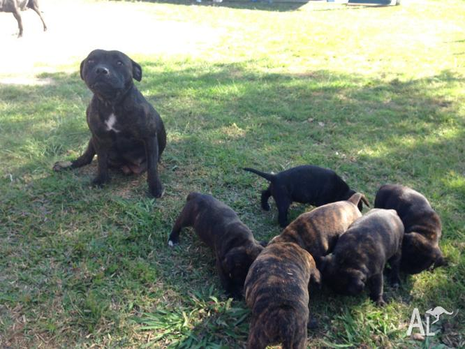 Blue Staffy For Sale : Purebred english staffy pups mother has blue blood lines for sale
