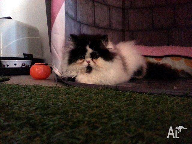 Purebred fluffy Persian kitten