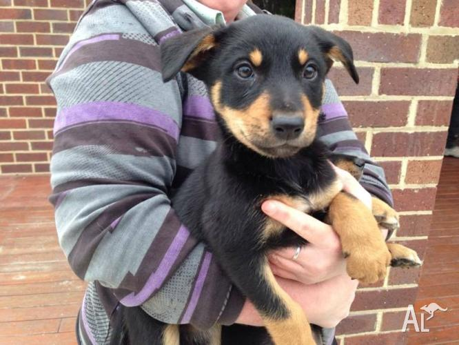 kelpie pups Classifieds - Buy & Sell kelpie pups across