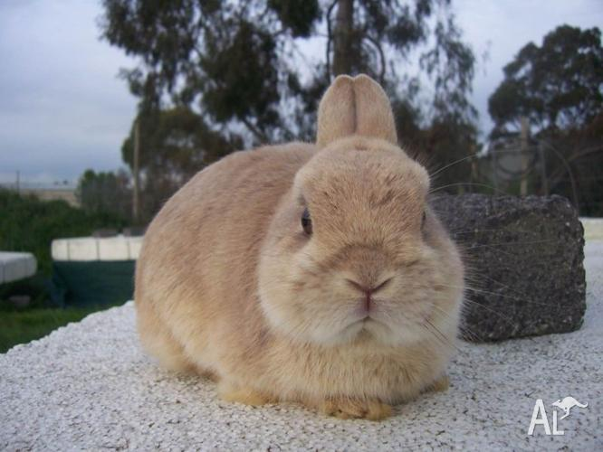 Purebred Lynx Netherland Dwarf Rabbit Buck For Sale.