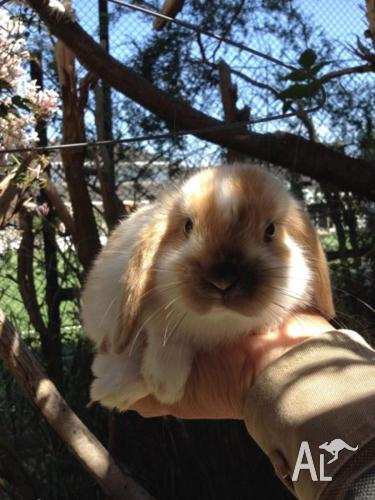 Purebred Minilop beautiful fawn white butterfly