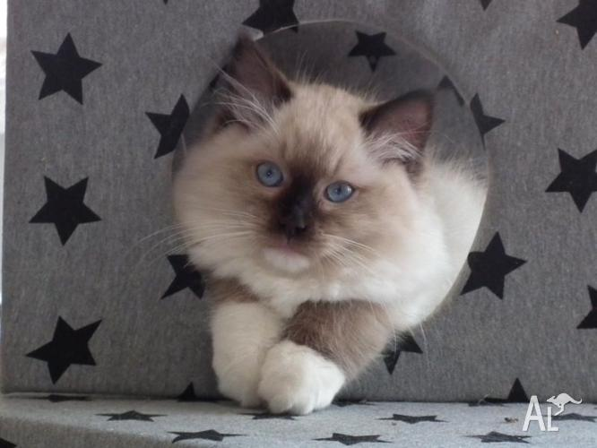 Purebred Ragdoll Kittens for Sale in MAYFIELD, New South