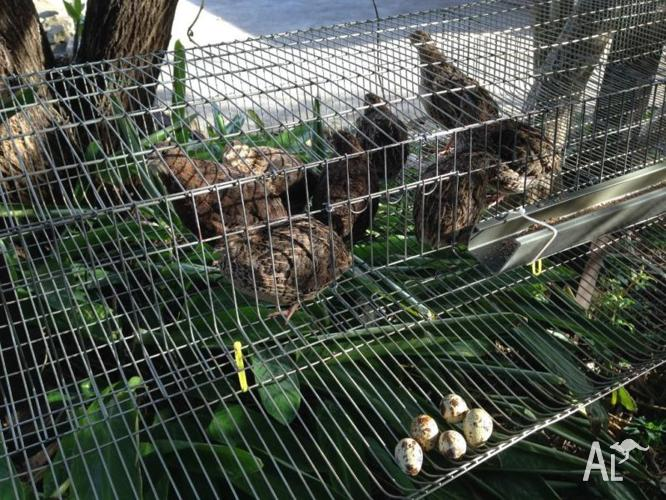 Quail Layers Cage