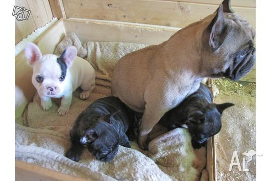 Pics Photos - French Bulldogs Australia For Sale Kentucky Bluegrass ...