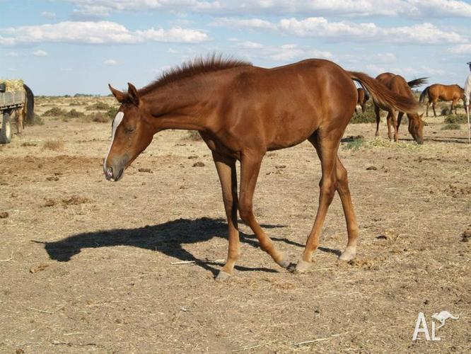 QUARAB YEARLING FILLY