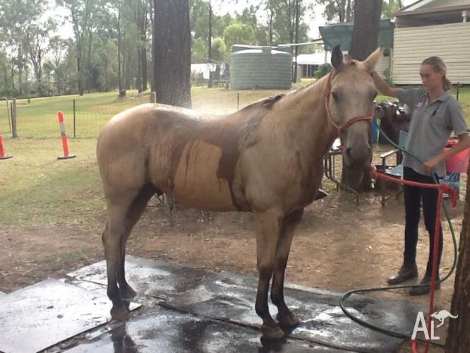 Quarter horse Buckskin.