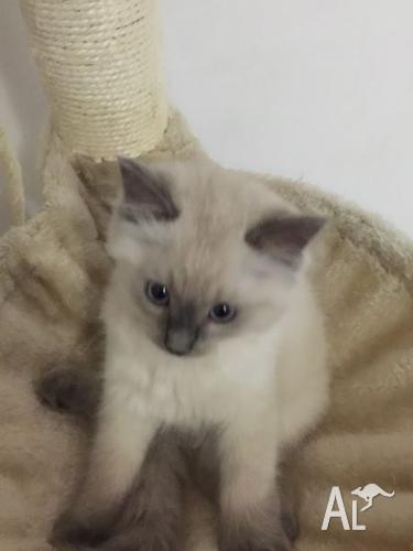 Ragdoll Cross Russian Blue Kittens For Sale In Beverley Park New South Wales Classified Australialisted Com