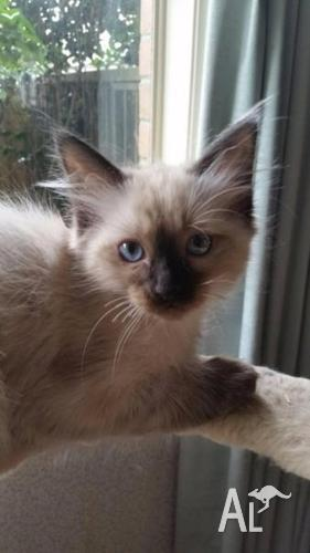 Ragdoll Kittens Pure Breed 1 Female Snowshoe 2 Male Seal Point For